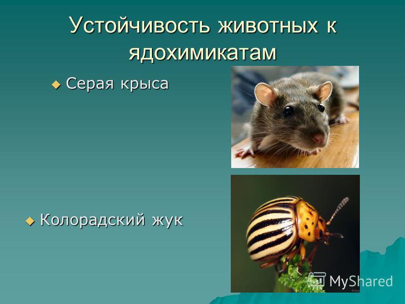 Устойчивость животных к ядохимикатам Серая крыса Серая крыса Колорадский жук Колорадский жук