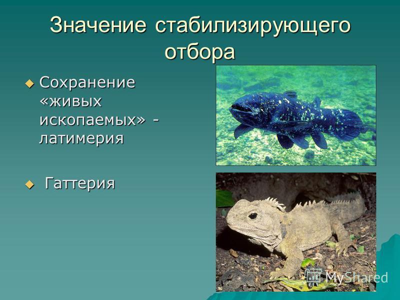 Значение стабилизирующего отбора Сохранение «живых ископаемых» - латимерия Г Гаттерия