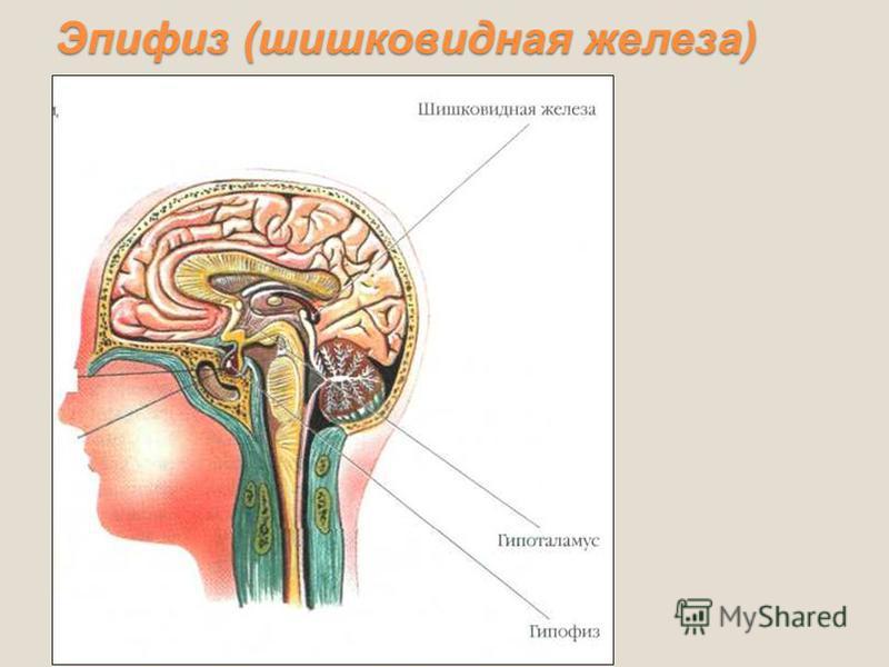 Эпифиз (шишковидная железа)