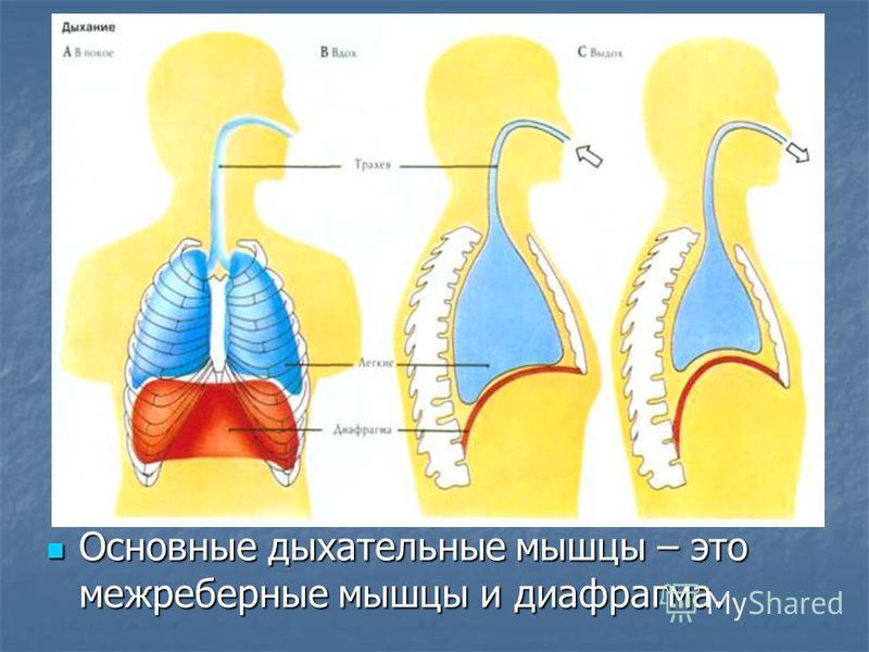 Основные дыхательные мышцы – это межреберные мышцы и диафрагма. Основные дыхательные мышцы – это межреберные мышцы и диафрагма.