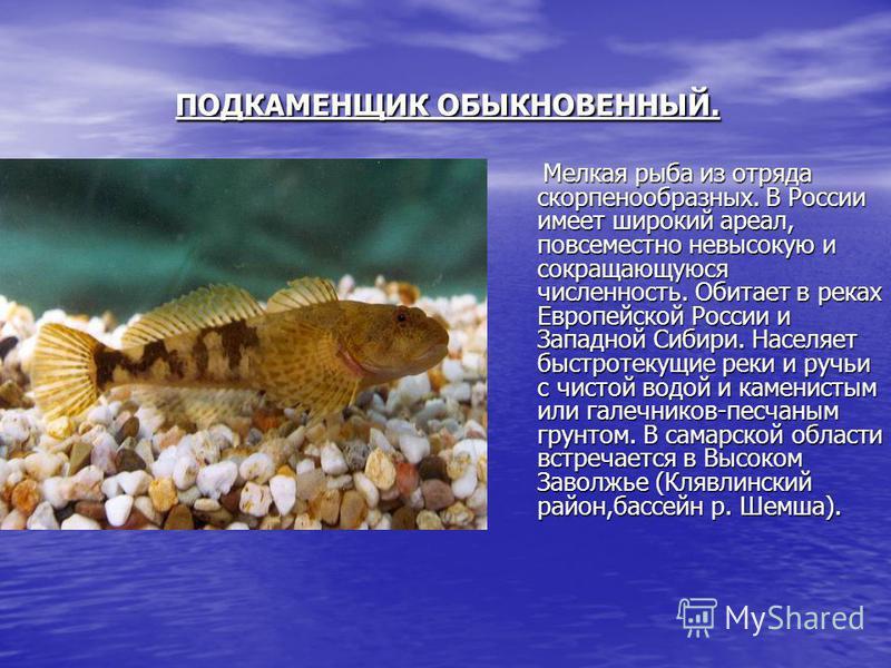 ПОДКАМЕНЩИК ОБЫКНОВЕННЫЙ. ПОДКАМЕНЩИК ОБЫКНОВЕННЫЙ. Мелкая рыба из отряда скорпенообразных. В России имеет широкий ареал, повсеместно невысокую и сокращающуюся численность. Обитает в реках Европейской России и Западной Сибири. Населяет быстротекущие