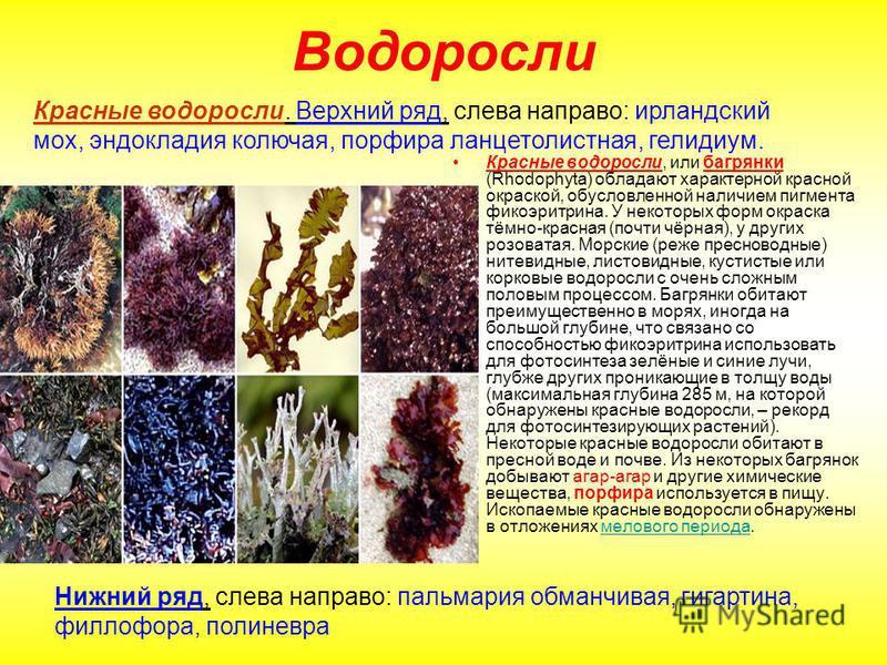 Водоросли Красные водоросли, или багрянки (Rhodophyta) обладают характерной красной окраской, обусловленной наличием пигмента фикоэритрина. У некоторых форм окраска тёмно-красная (почти чёрная), у других розоватая. Морские (реже пресноводные) нитевид