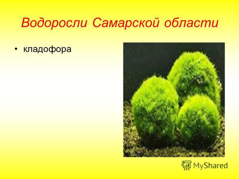 Водоросли Самарской области кладофора