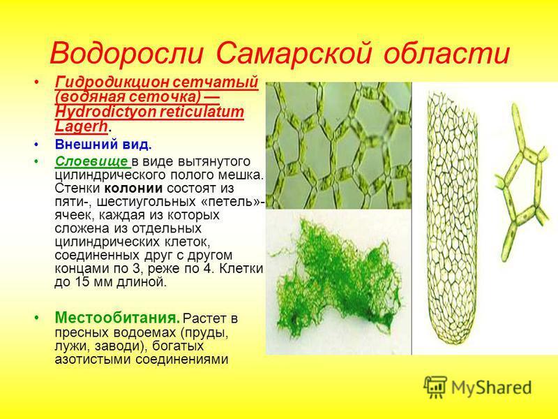 Водоросли Самарской области Гидродикцион сетчатый (водяная сеточка) Hydrodictyon reticulatum Lagerh. Внешний вид. Слоевище в виде вытянутого цилиндрического полого мешка. Стенки колонии состоят из пяти-, шестиугольных «петель»- ячеек, каждая из котор
