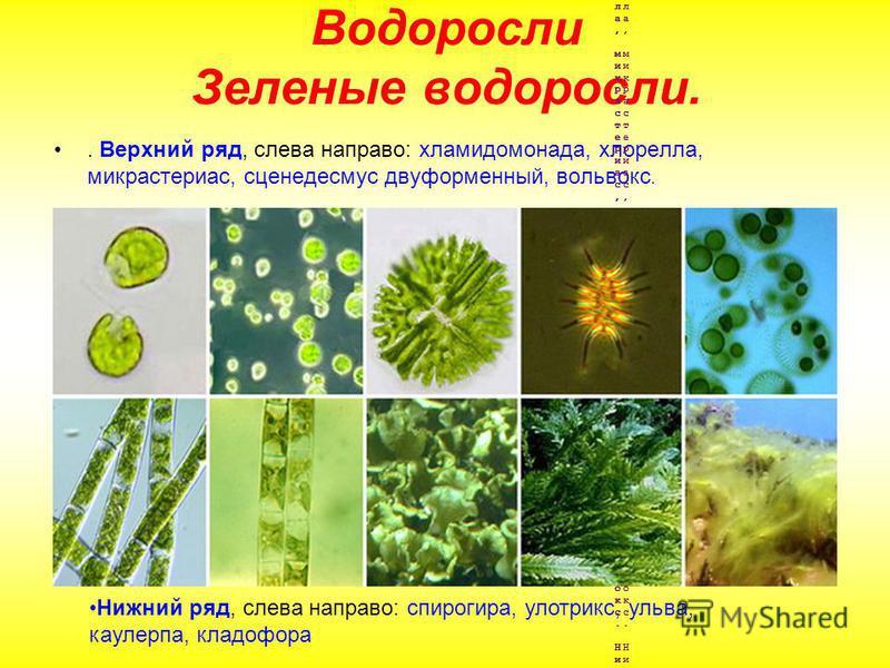 Водоросли Зеленые водоросли.. Верхний ряд, слева направо: хламидомонада, хлорелла, микрастериас, сценедесмус двуформенный, вольвокс. Зелёные водоросли. Верхний ряд, слева направо: хламидомонада, хлорелла, микрастериас, сценедесмус двуформенный, вольв