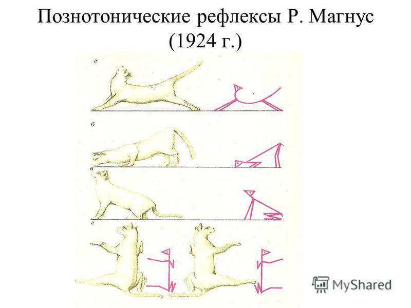 Познотонические рефлексы Р. Магнус (1924 г.)