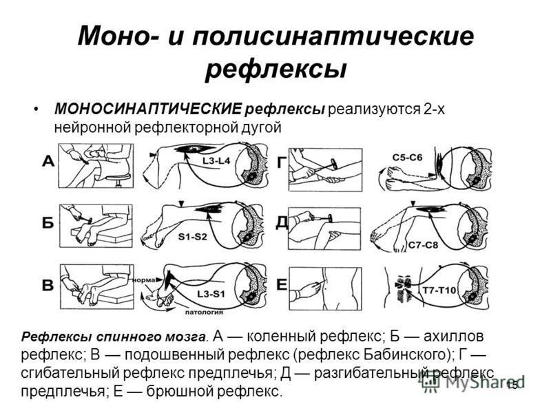 15 Моно- и полисинаптические рефлексы МОНОСИНАПТИЧЕСКИЕ рефлексы реализуются 2-х нейронной рефлекторной дугой Рефлексы спинного мозга. А коленный рефлекс; Б ахиллов рефлекс; В подошвенный рефлекс (рефлекс Бабинского); Г сгибательный рефлекс предплечь