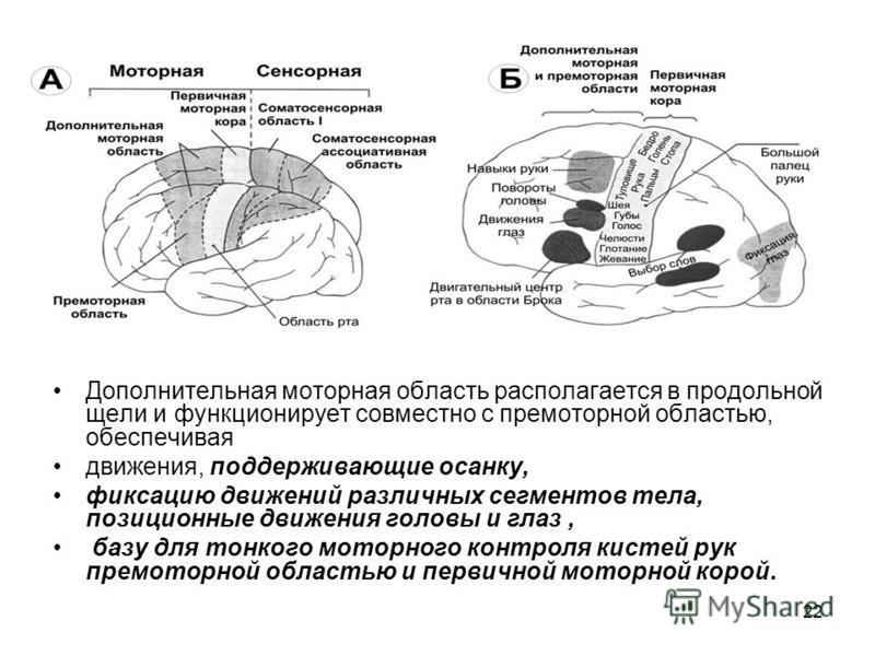 22 Дополнительная моторная область располагается в продольной щели и функционирует совместно с премоторной областью, обеспечивая движения, поддерживающие осанку, фиксацию движений различных сегментов тела, позиционные движения головы и глаз, базу для