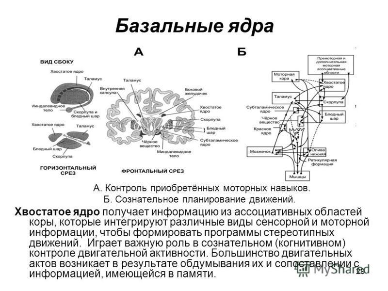 29 Базальные ядра А. Контроль приобретённых моторных навыков. Б. Сознательное планирование движений. Хвостатое ядро получает информацию из ассоциативных областей коры, которые интегрируют различные виды сенсорной и моторной информации, чтобы формиров