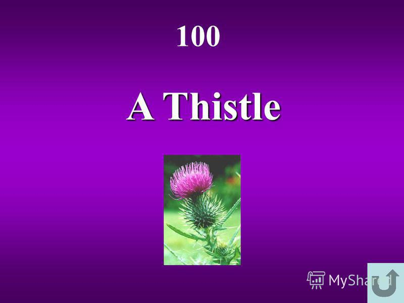 A Thistle 100