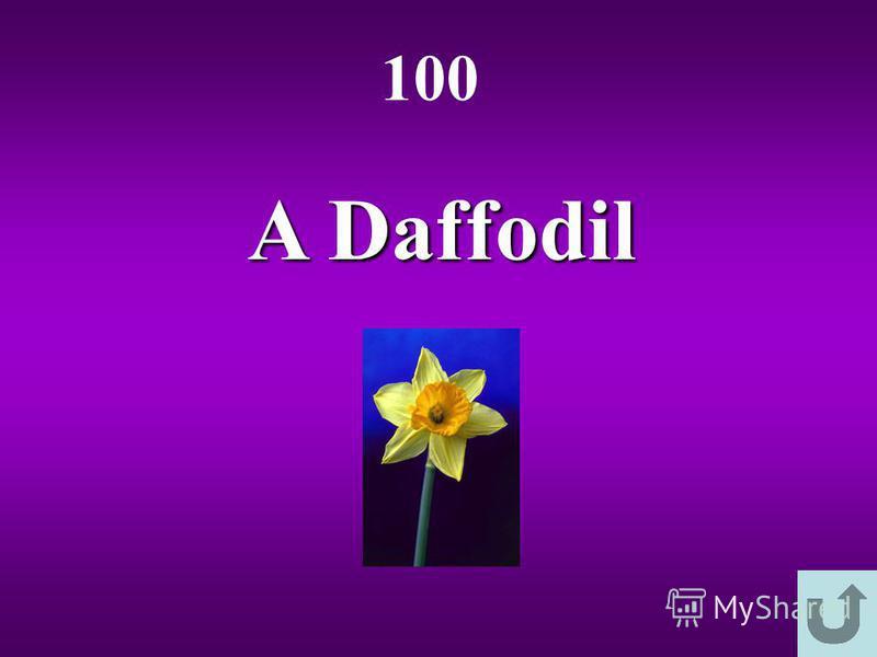 A Daffodil 100