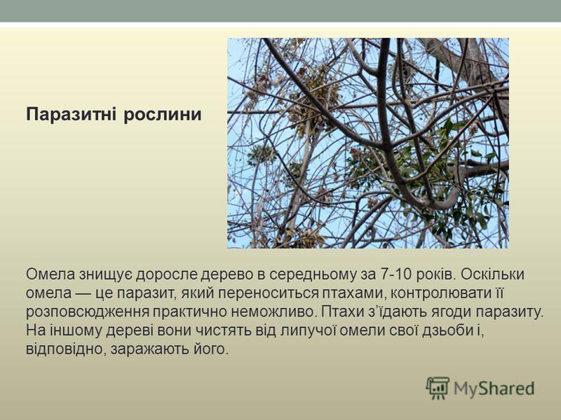 Паразитні рослини Омела знищує доросле дерево в середньому за 7-10 років. Оскільки омела це паразит, який переноситься птахами, контролювати її розповсюдження практично неможливо. Птахи зїдають ягоди паразиту. На іншому дереві вони чистять від липучо