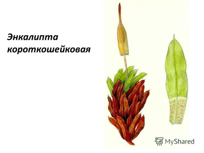 Энкалипта короткошейковая