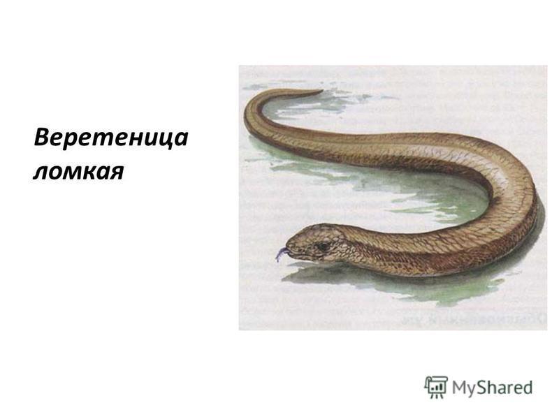 Веретеница ломкая