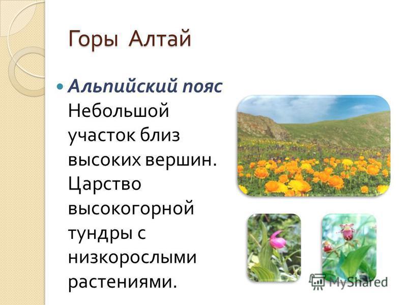 Альпийский пояс Небольшой участок близ высоких вершин. Царство высокогорной тундры с низкорослыми растениями. Горы Алтай