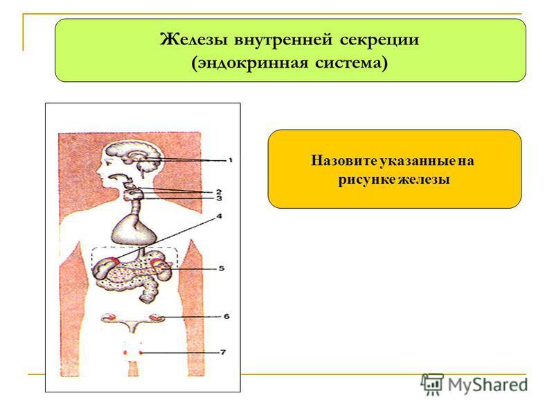 Железы внутренней секреции (эндокринная система) Назовите указанные на рисунке железы