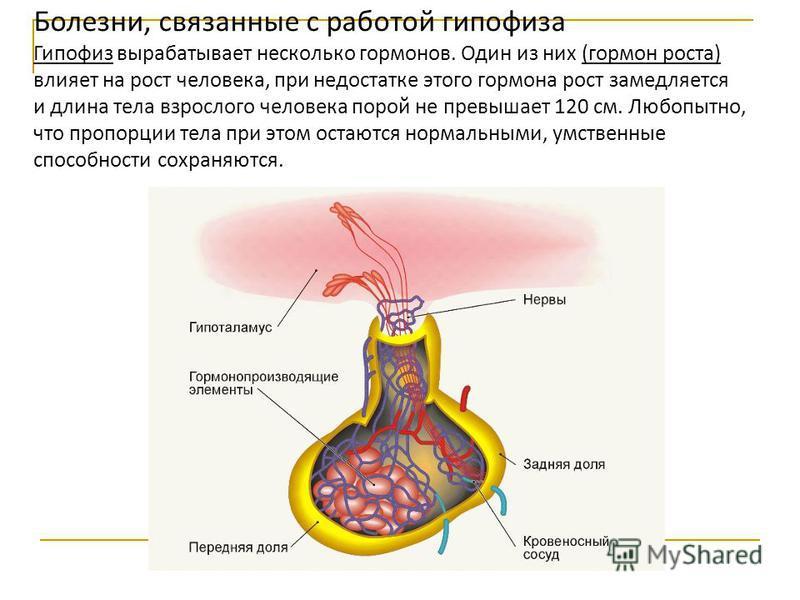 Болезни, связанные с работой гипофиза Гипофиз вырабатывает несколько гормонов. Один из них (гормон роста) влияет на рост человека, при недостатке этого гормона рост замедляется и длина тела взрослого человека порой не превышает 120 см. Любопытно, что