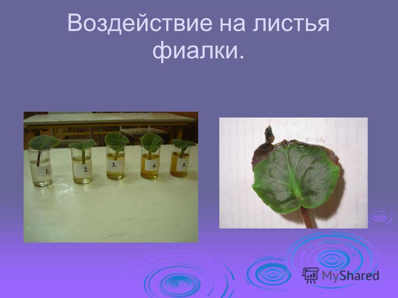 Воздействие на листья фиалки.