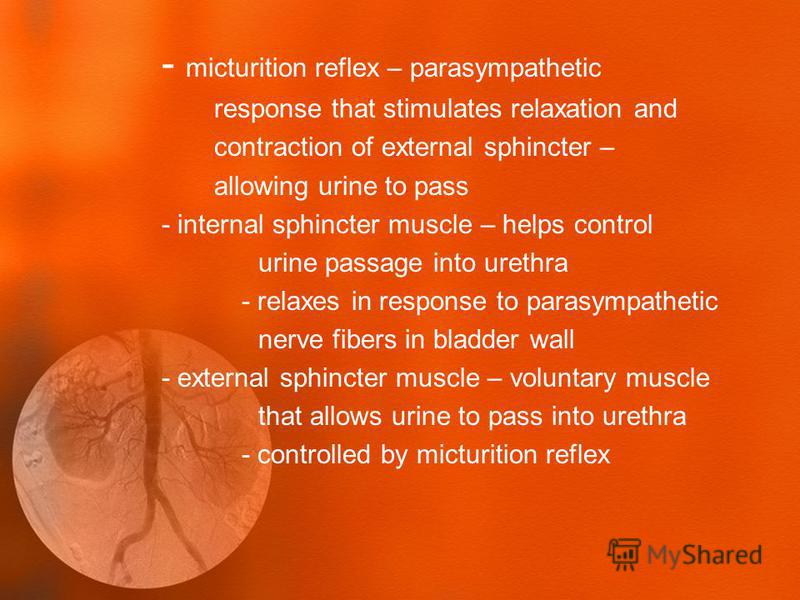 - micturition reflex – parasympathetic response that stimulates relaxation and contraction of external sphincter – allowing urine to pass - internal sphincter muscle – helps control urine passage into urethra - relaxes in response to parasympathetic