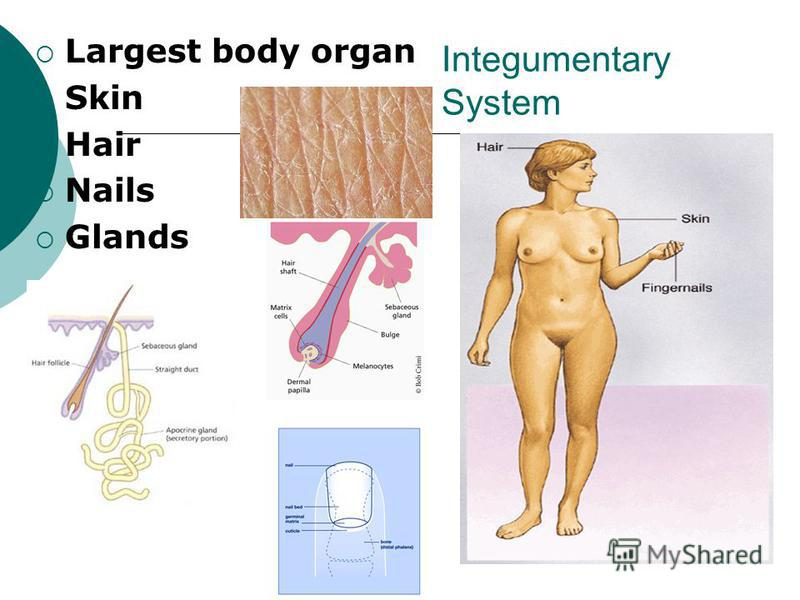 Integumentary System Largest body organ Skin Hair Nails Glands