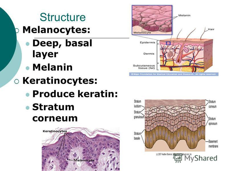 Structure Melanocytes: Deep, basal layer Melanin Keratinocytes: Produce keratin: Stratum corneum