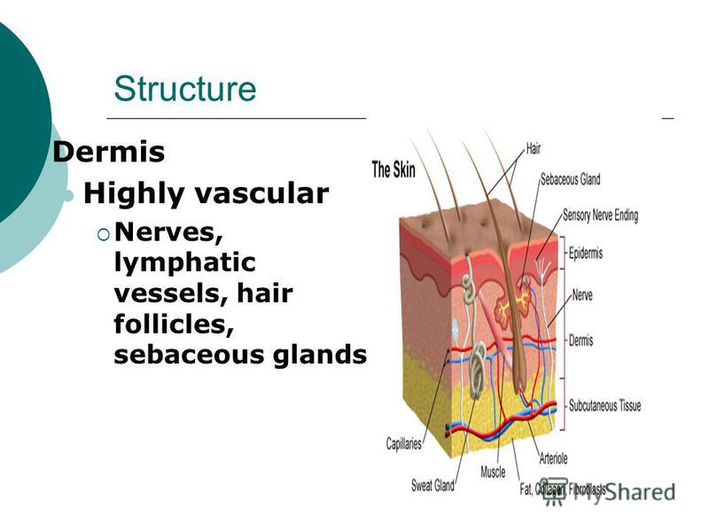 Structure Dermis Highly vascular Nerves, lymphatic vessels, hair follicles, sebaceous glands