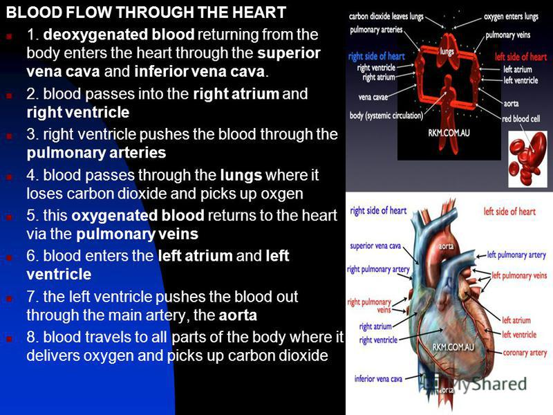 BLOOD FLOW THROUGH THE HEART 1. deoxygenated blood returning from the body enters the heart through the superior vena cava and inferior vena cava. 2. blood passes into the right atrium and right ventricle 3. right ventricle pushes the blood through t