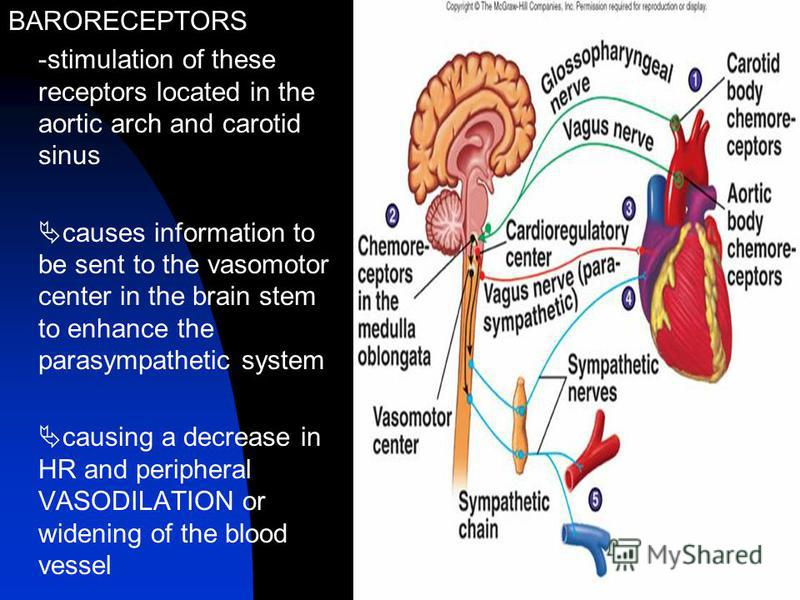 BARORECEPTORS -stimulation of these receptors located in the aortic arch and carotid sinus causes information to be sent to the vasomotor center in the brain stem to enhance the parasympathetic system causing a decrease in HR and peripheral VASODILAT
