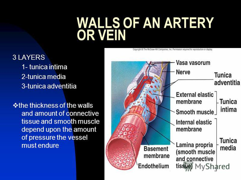 WALLS OF AN ARTERY OR VEIN 3 LAYERS 1- tunica intima 2-tunica media 3-tunica adventitia the thickness of the walls and amount of connective tissue and smooth muscle depend upon the amount of pressure the vessel must endure
