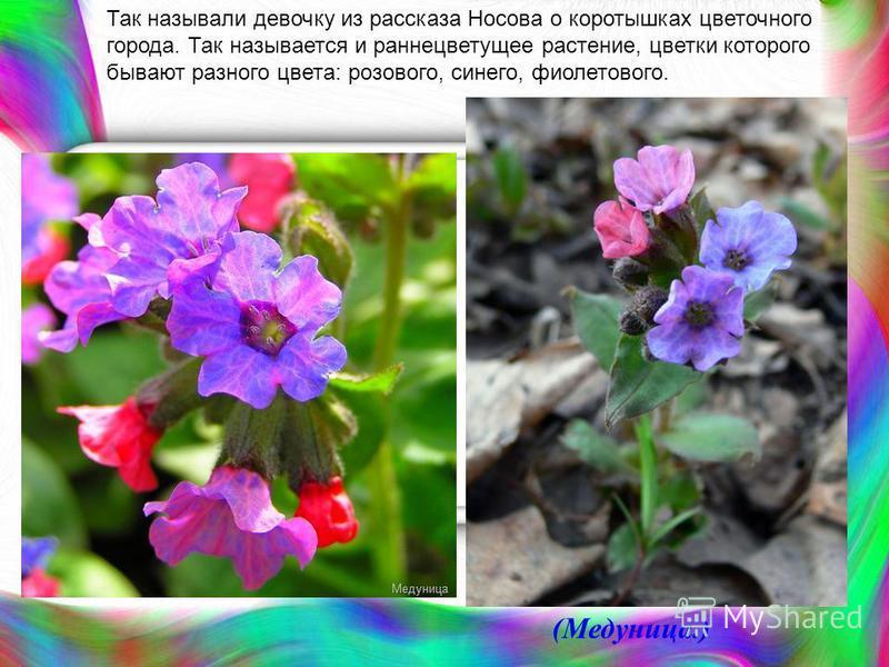 Так называли девочку из рассказа Носова о коротышках цветочного города. Так называется и раннецветущее растение, цветки которого бывают разного цвета: розового, синего, фиолетового. (Медуница.)