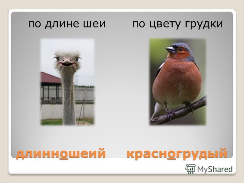 длинношеий красногрудый по длине шеи по цвету грудки