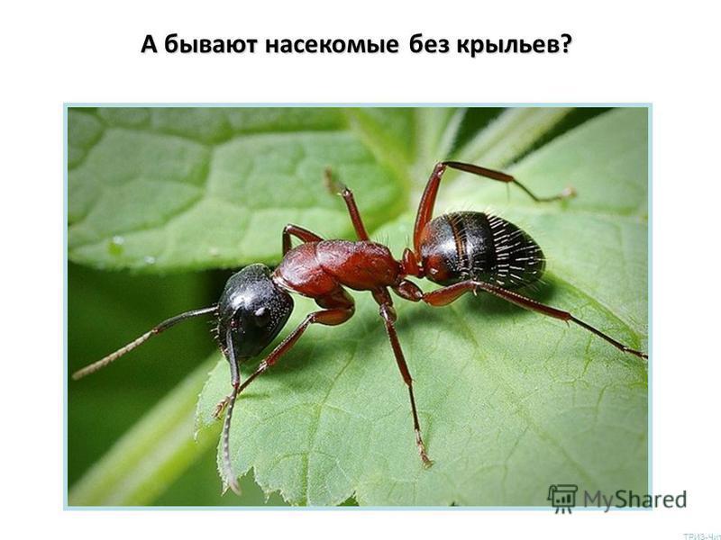 А бывают насекомые без крыльев? ТРИЗ-Чита