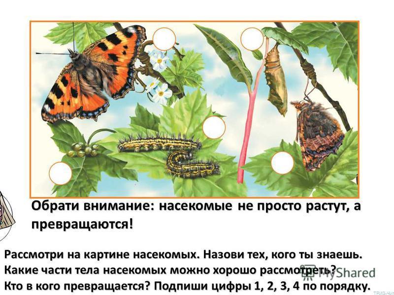 Рассмотри на картине насекомых. Назови тех, кого ты знаешь. Какие части тела насекомых можно хорошо рассмотреть? Кто в кого превращается? Подпиши цифры 1, 2, 3, 4 по порядку. Обрати внимание: насекомые не просто растут, а превращаются! ТРИЗ-Чита