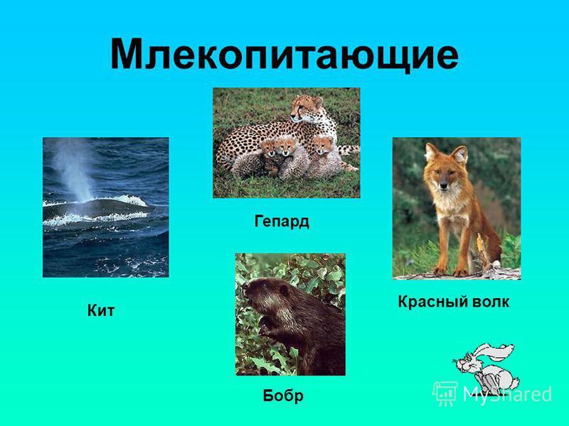 Млекопитающие Гепард Кит Красный волк Бобр