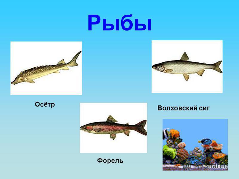 Рыбы Осётр Волховский сиг Форель