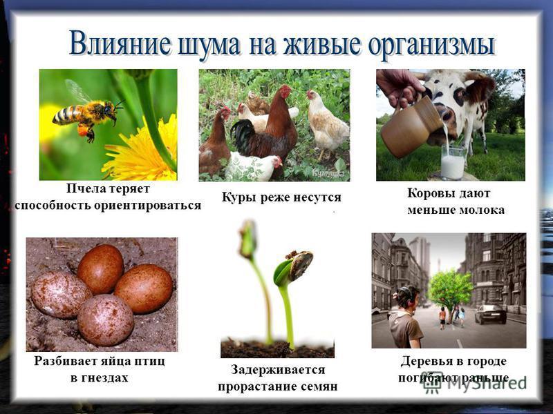 Пчела теряет способность ориентироваться Разбивает яйца птиц в гнездах Коровы дают меньше молока Куры реже несутся Задерживается прорастание семян Деревья в городе погибают раньше