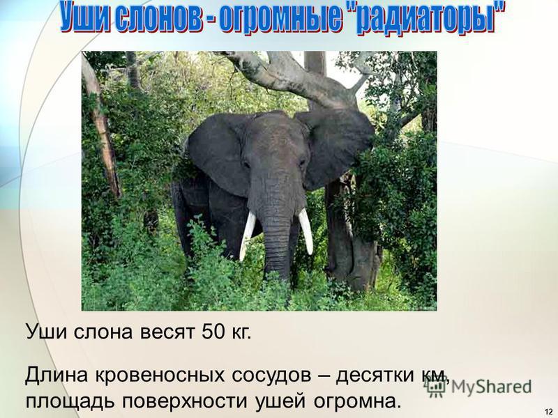 12 Уши слона весят 50 кг. Длина кровеносных сосудов – десятки км, площадь поверхности ушей огромна.