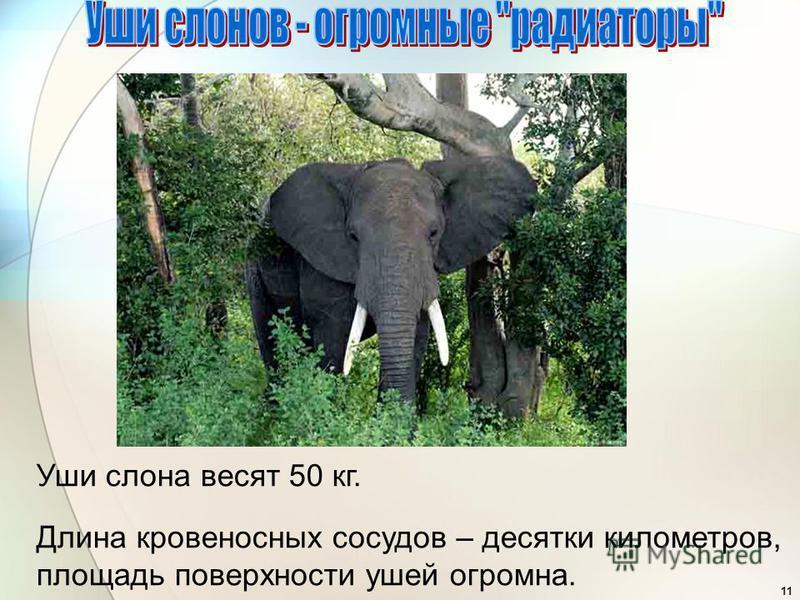 11 Уши слона весят 50 кг. Длина кровеносных сосудов – десятки километров, площадь поверхности ушей огромна.