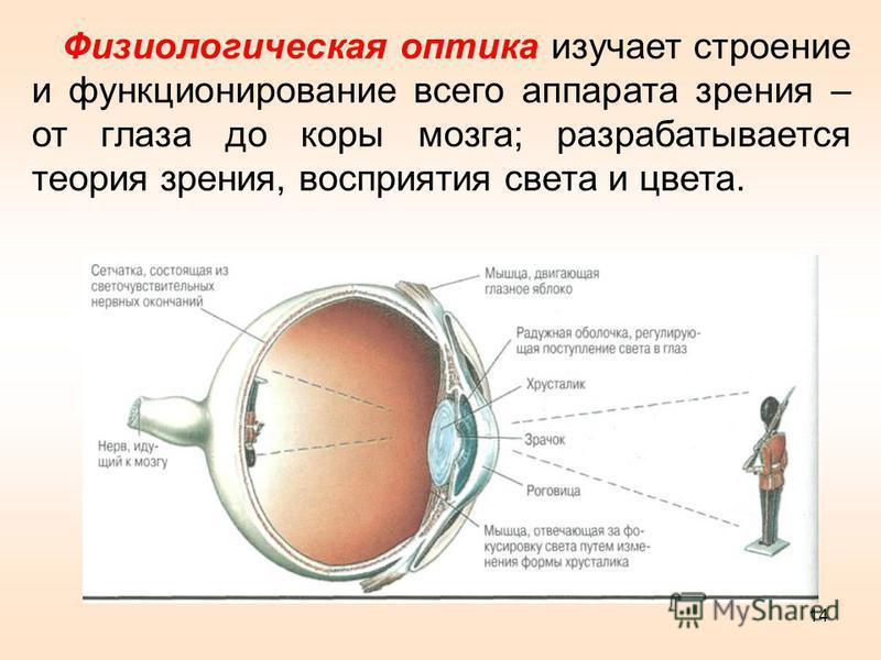 Физиологическая оптика изучает строение и функционирование всего аппарата зрения – от глаза до коры мозга; разрабатывается теория зрения, восприятия света и цвета. 14
