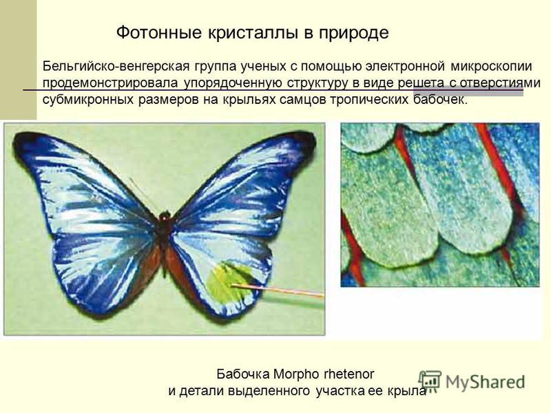 Фотонные кристаллы в природе Бельгийско-венгерская группа ученых с помощью электронной микроскопии продемонстрировала упорядоченную структуру в виде решета с отверстиями субмикронных размеров на крыльях самцов тропических бабочек. Бабочка Morpho rhet