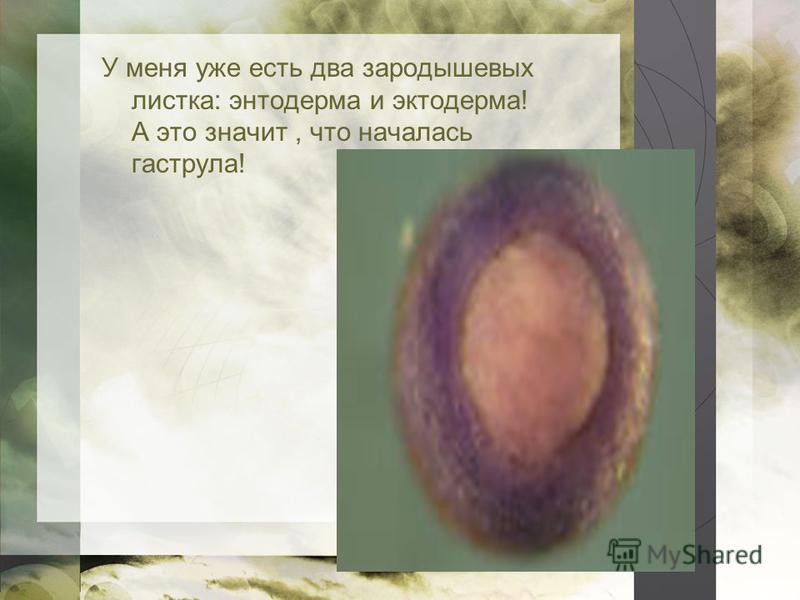 У меня уже есть два зародышевых листка: энтодерма и эктодерма! А это значит, что началась гаструла!