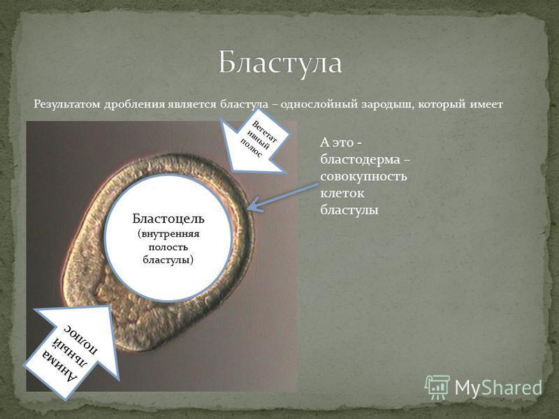 Результатом дробления является бластула – однослойный зародыш, который имеет Бластоцель (внутренняя полость бластулы) Вегетат ивный полюс Анима льный полюс А это - бластодерма – совокупность клеток бластулы