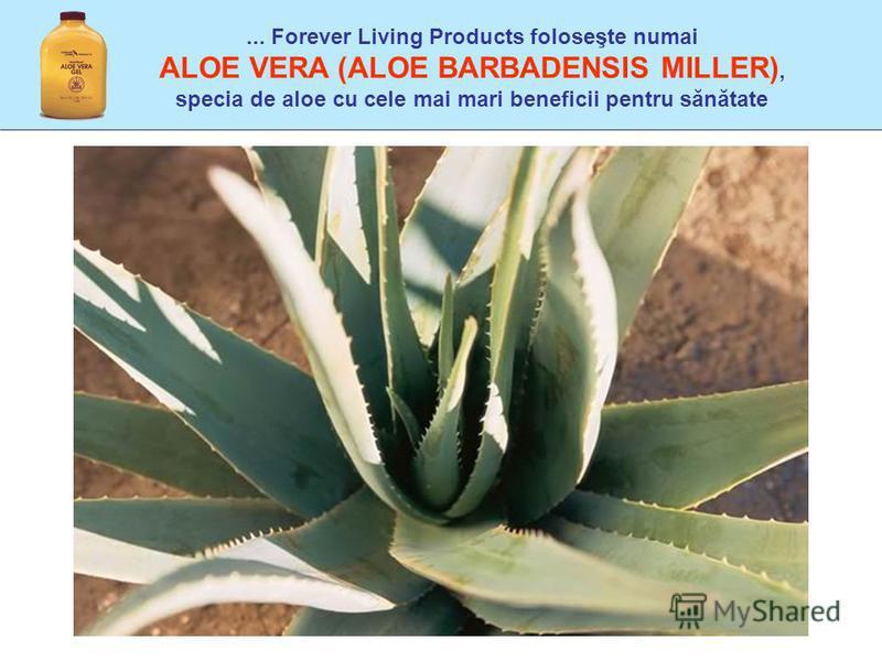... Forever Living Products foloseşte numai ALOE VERA (ALOE BARBADENSIS MILLER), specia de aloe cu cele mai mari beneficii pentru sănătate