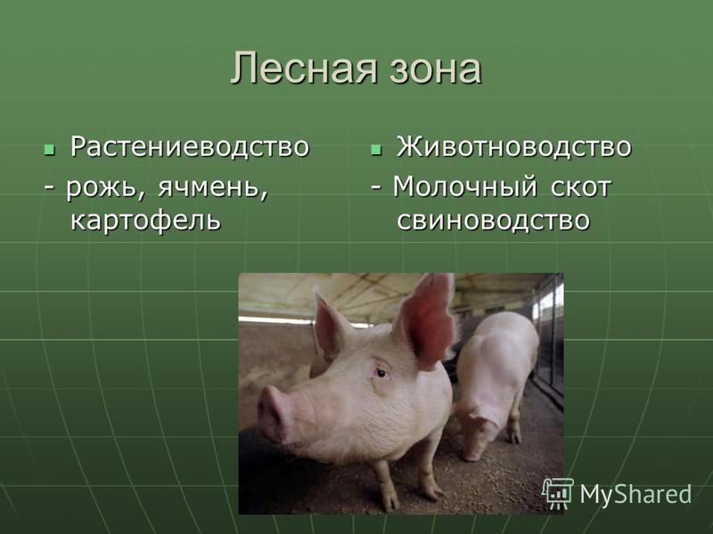 Лесная зона Растениеводство Растениеводство - рожь, ячмень, картофель Животноводство Животноводство - Молочный скот свиноводство