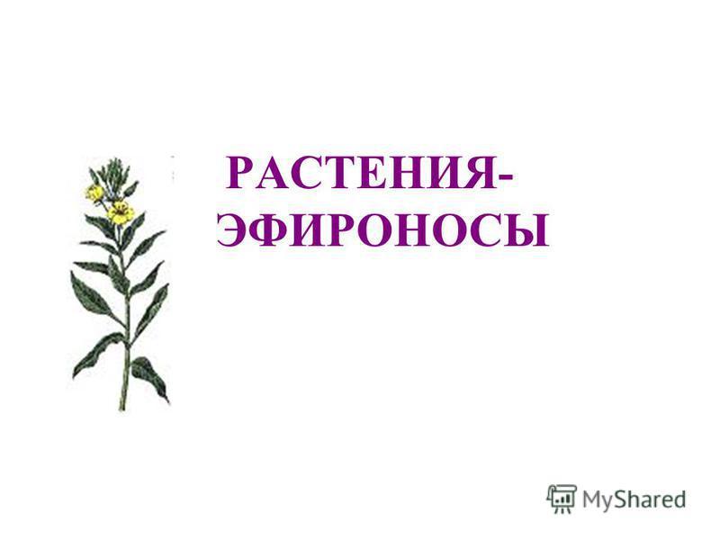 РАСТЕНИЯ- ЭФИРОНОСЫ
