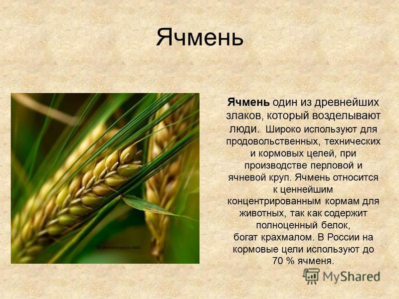 Ячмень Ячмень один из древнейших злаков, который возделывают люди. Широко используют для продовольственных, технических и кормовых целей, при производстве перловой и ячневой круп. Ячмень относится к ценнейшим концентрированным кормам для животных, та