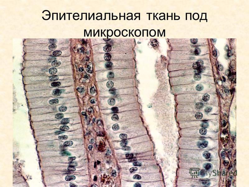 фото тканей животного организма
