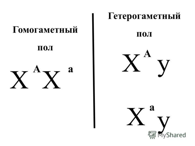 ХХ Ху Аа А Х у а Гомогаметный пол Гетерогаметный пол