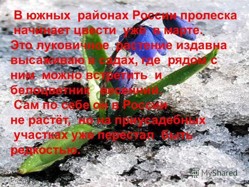 В южных районах России пролеска начинает цвести уже в марте. Это луковичное растение издавна высаживаю в садах, где рядом с ним можно встретить и белоцветник весенний. Сам по себе он в России не растёт, но на приусадебных участках уже перестал быть р