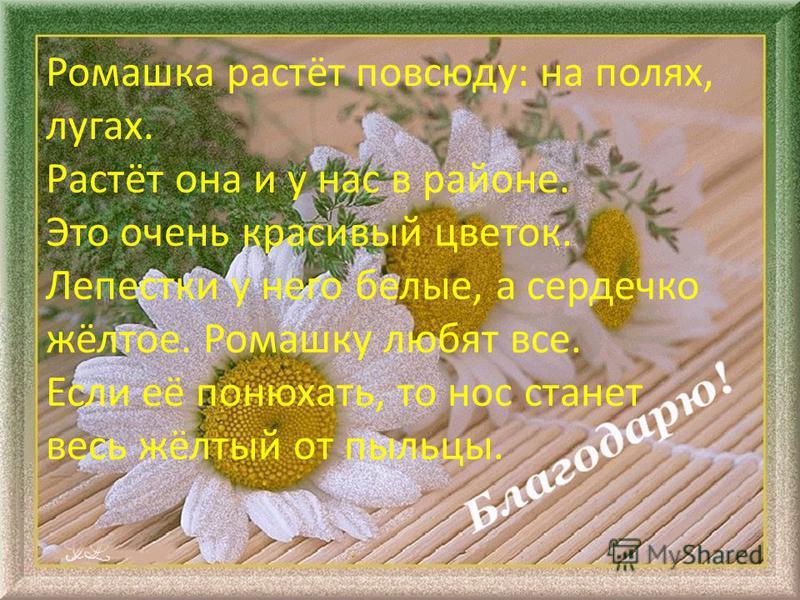 Ромашка растёт повсюду: на полях, лугах. Растёт она и у нас в районе. Это очень красивый цветок. Лепестки у него белые, а сердечко жёлтое. Ромашку любят все. Если её понюхать, то нос станет весь жёлтый от пыльцы.
